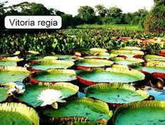 Resultado de imagem para biodiversidade amazonica fauna e flora