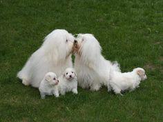 Gallery of the rare breed dog Coton de Tulear   Pure Heaven Cotons