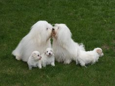 Gallery of the rare breed dog Coton de Tulear | Pure Heaven Cotons