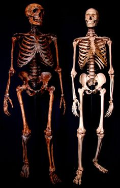 Neanderthal and modern human skeletons. Remember kids, Homo Sapiens did not evolve from Neanderthals. They were two distinctly different species. Neanderthals are now believed to have partially co-existed with Cro-Magnons and may even have interbred.