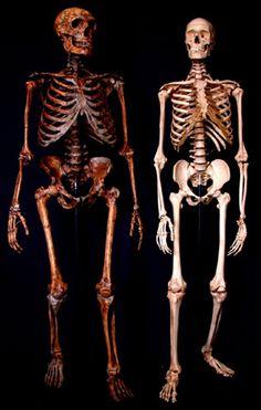 Neanderthal and modern human skeletons.