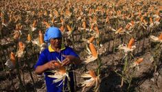 Peningkatan sebesar 12 juta ton hingga tiga bulan ke depan PT Rifan Financindo Berjangka Sekretaris Jenderal Gabungan Pengusaha Makanan Ternak (GPMT) Desianto Budi Utomo mengatakan adanya peningkatan serapan jagung lokal tahun ini. Ia menjelaskan, tahun lalu serapan jagung sebesar 7,8 juta ton atau 650 ribu ton per bulan. Tahun ini diprediksi produksi jagung lokal mengalami peningkatan…