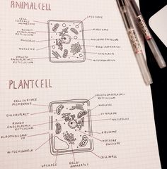 animal biology coffeegrrl: (lets just ignore the fact that i totally forgot to leave gaps for the plasmodesmata in the plant cell and had to use tippex) Biology Revision, Science Revision, Gcse Science, Gcse Revision, Science Notes, Ap Biology, Cell Biology Notes, Biology Lessons, Revision Notes