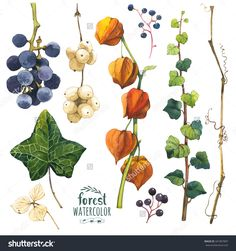 Watercolor Illustration With Branches, Leaves And Berries. Set Of Winter And Autumn Forest Plants. Collection Of Herbarium Garden. Snowberry, Cape Gooseberry, Ivy And Wild Grape. - 341897897 : Shutterstock