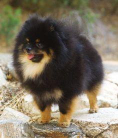 My gorgeous Champion, Onyx! Black and Tan Pomeranian Puppy Dog Pom Pom