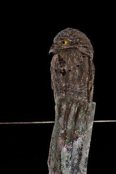Foto mãe-da-lua (Nyctibius griseus) por Celuta Machado   Wiki Aves - A Enciclopédia das Aves do Brasil