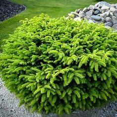 Bird's Nest Spruce | Full sun ▪ (H) 2-4' (W) 3-5' ▪ Zone 4-9