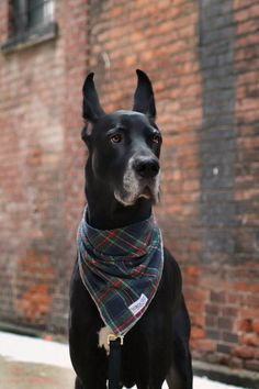 "Great Dane From your friends at phoenix dog in home dog training""k9katelynn"" see more about Scottsdale dog training at k9katelynn.com! Pinterest with over 18,900 followers! Google plus with over 123,000 views! You tube with over 400 videos and 50,000 views!! Serving the valley for 11 plus years"