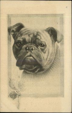 Adorable Pug or Bulldog Bull Dog FRAME BORDER c1910 Postcard