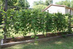 Loganberries trellised via Christine R.   #starkbros customer photo