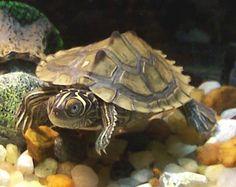 Mississippi Map Turtle - Live Baby Mississippi Map Turtles For Sale - Live Turtles For Sale