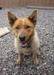Beau is an adoptable Australian Cattle Dog (Blue Heeler) Dog in Jackson, WY. Beau is a silly wiggle-machine! He greets everyone with a wriggle and kiss! He is a nice little Heeler that is looking for ...