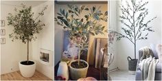 Olive Trees Are the Next Big Trend to Take Over Homes Everywhere