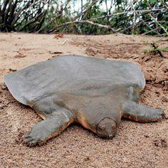 Pelochelys cantorii. Tämä, suomenkielistä nimeä vailla oleva kilpikonnalaji Kaakkois-Aasiassa viettää liki kaiken aikansa joen pohjalla hiekkaan hautautuneena vaanien saaliita. Se nousee pintaan hengittämään vain pari kertaa päivässä.