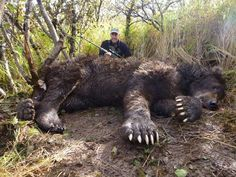 Brown bears (aka grizzly bears) are the most widespread bear species in the… Big Game Hunting, Bear Hunting, Hunting Season, Hunting Guns, Hunting Stuff, Bear Pictures, Animal Pictures, Large Animals, Animals And Pets