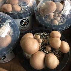 Living chestnut mushroom