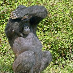 Gorilla The Macarena ! (dance) ... 22 (c)(h) by Olao-Olavia par Okaio Créations fz 1000