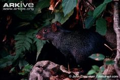 Learn more about the Central American agouti - with amazing Central American agouti videos, photos and facts on Arkive Endangered Species, Black Bear, Predator, Ecology, Reptiles, Mother Nature, Habitats, Kangaroo, Baby Animals