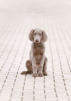 long haired weimaraner #dogs
