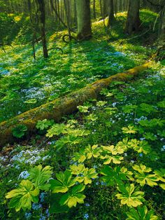Phlox and Mayapple   Smoky Mountain National Park, Tennessee   Fine Art Photography by Ed Cooley