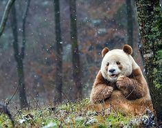 Qizai the worlds only brown panda! Click here for more adorable animal pics!