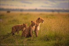 """""""You know you are truly alive when you're living among lions.""""  ― Karen Blixen, Out of Africa"""