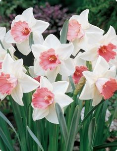 "Lovely Pink Daffodils, photo of ""Chromacolor"" - Think Pretty n Pink!"