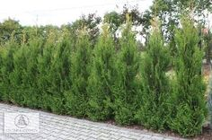 Little Giant Can Can is a privacy tree for smaller yards..It has no winter die-back and  grows only 8 to 10 feet tall and 3 to 4 feet wide,  very nice privacy tree for smaller yards!.