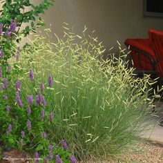 This showy cultivar of our native Blue Grama Grass is tough and beautiful. Its popularity has made it scarce, but we have new crops you can book now!