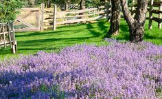 Lavender in the Gardens of Hope, New Glasgow, Prince Edward Island