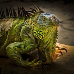 Green Iguana ... Dragon--smaller version =)