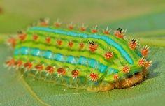 Stinging Nettle Slug Caterpillar (Cup Moth, Limacodidae) by itchydogimages, via Flickr
