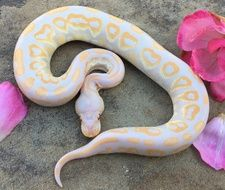 Candino Black Pastel Ball Python - Anita Smith Home Pretty Snakes, Cool Snakes, Beautiful Snakes, Cute Reptiles, Reptiles And Amphibians, Pythons For Sale, Burmese Python, Ball Python Morphs, Cute Snake