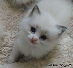 Blue Point Bicolor Ragdoll Kitten