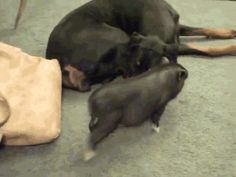 PIG AND DOBERMAN. MY LIFE IS COMPLETE