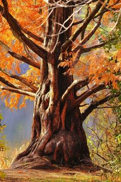 Amazing tree in the Fall. Dame Nature, Old Trees, Nature Tree, Tree Forest, Tree Of Life, Belle Photo, Beautiful World, Scenery, Bonsai