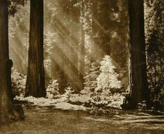 """Adolf Fassbender (American, German-born, 1884–1980): Redwood Solitude, 1965.  """"[Fassbender] made a substantial contribution as to twentieth-century photography in America. Alongside William Mortensen and Max Thorek, he was a leading pictorialist between the two world wars. His book, """"Pictorial Artistry,"""" remains the most lavish publication of its kind. (photogravuregallery.com)"""