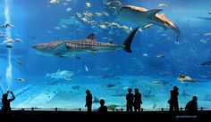 """Kuroshio Sea - 2nd largest aquarium tank in the world The main tank called the """"Kuroshio Sea"""" holds 7,500-cubic meters (1,981,290 gallons) of water and features the world's second largest acrylic glass panel, measuring 8.2 meters by 22.5 meters with a thickness of 60 centimeters. Whale sharks and manta rays are kept amongst many other fish species in the main tank.jonrawlinson Member since 2004 Taken on June 26, 2009 Canon EOS 5D Mark II"""