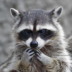 Photograph Embarrassed raccoon by sergei gladyshev on 500px