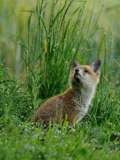 Red Fox Cub by Christian Schmalhofer