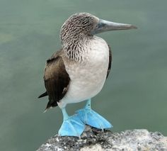 Blue-footed Booby (Sula nebouxii) by C@rol