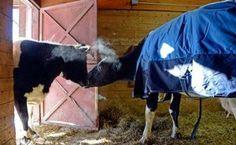 Tierna historia de dos vacas ciegas que se vuelven mejores amigas