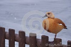 ruddy-shelduck-winter-landscape-tadorna-ferruginea Winter Landscape, Bird, Winter Scenery, Birds