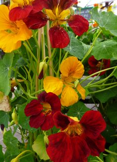 Edible Nasturtium - at Morgan's Garden Centre