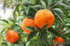 Oranges  - at their best right now!