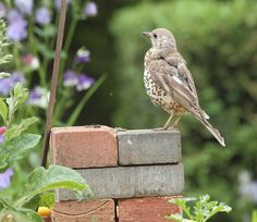 https://flic.kr/p/eKLZB8 | recently fledged mistle thrush | perched on my jumping spider wall...plus one in comments.