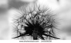 Black and white fluffy dandelion