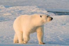 Polar bear (Ursus maritimus) walking on sea ice, Spitsbergen, Svalbard, Norway