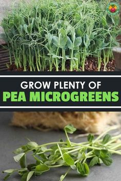 Pea microgreens or shoots are a tasty treat to top salads or sandwiches with! Our in-depth guide reveals how to grow them yourself.