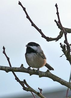 Black Capped Chickadee in my back yard; love these little birds.